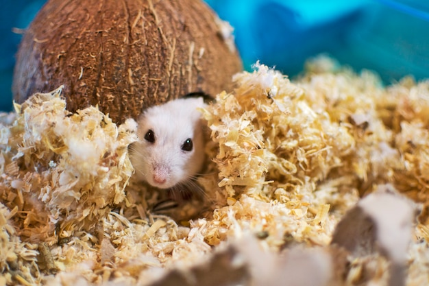 A hamster leaving his house made of coconut.