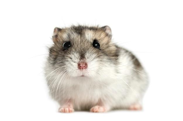 Hamster lying, isolated on white