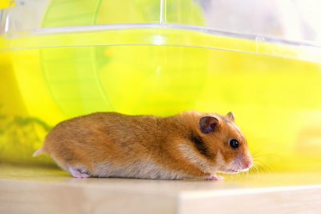 Хомяк бежит возле своей клетки