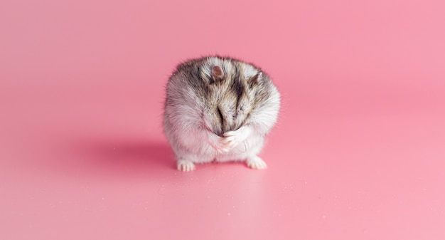 Hamster washes his face on a pink background