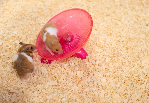Hamsters playing with a spinning plate