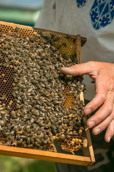 Hand of beekeeper is working with bees and beehives on the apiary. bees on honeycombs. frames of a bee hive
