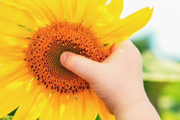 Hand of child holding sunflower.