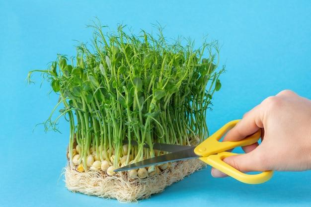 파란색 배경에 가위로 완두콩 미세 녹색 콩나물을 손으로 자릅니다. 집에서 유기농 식용 식물 싹의 성장.