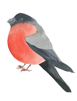 Hand drawn bullfinch in watercolor isolated on white background perfect for new year poster or card