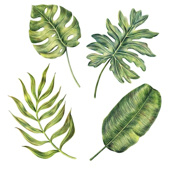 Hand drawn monstera, banana and areca palm leaves