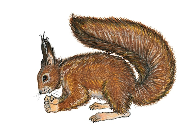 Hand drawn sitting squirrel illustration isolated on white background pastel crayon watercolor