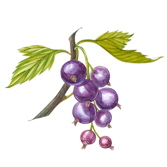 Hand-drawn watercolor blackcurrant. can be used as a greeting card for , birthday, mother's day and so on. romantic background for web pages, wedding invitations, wallpaper.