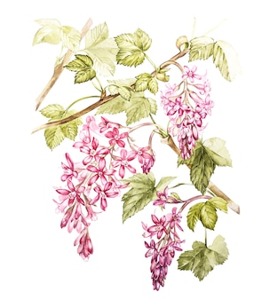 Hand drawn watercolor botanical illustration of flowers of black currant.