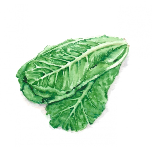 Hand drawn watercolor illustration of fresh green romaine lettuce leaves. vegetarian food product