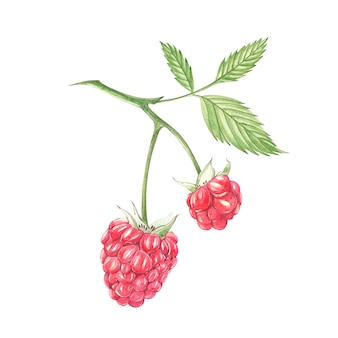 Hand drawn watercolor painting raspberry on white . botanical illustration.