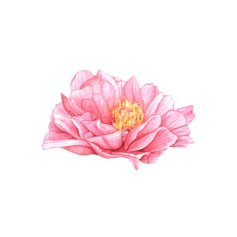 Hand drawn watercolor pink peony on white background.