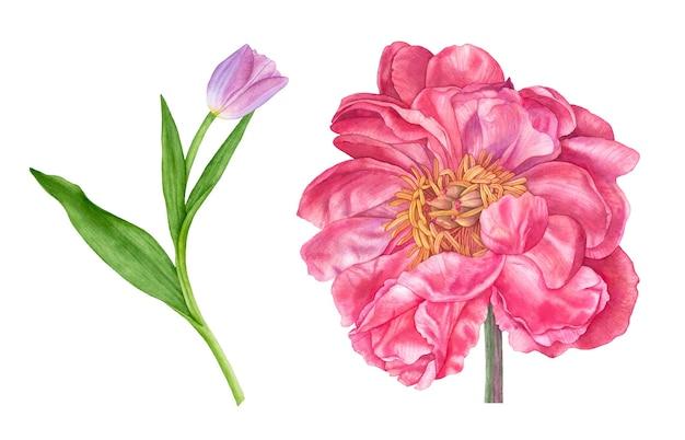 手描きの水彩ピンクのチューリップ、白い背景の上のピンクの牡丹。