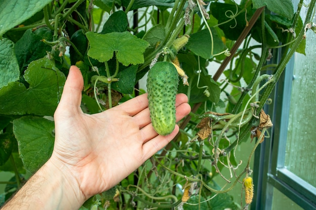 Hand of farmer hold green cucumber on a branch in a greenhouse