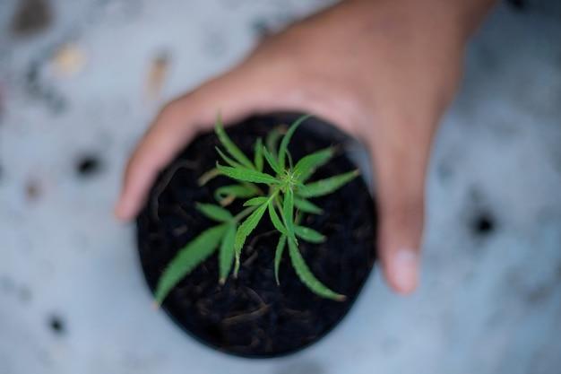 Hand of farmer holds a pot of marijuana seedlings on the ground.