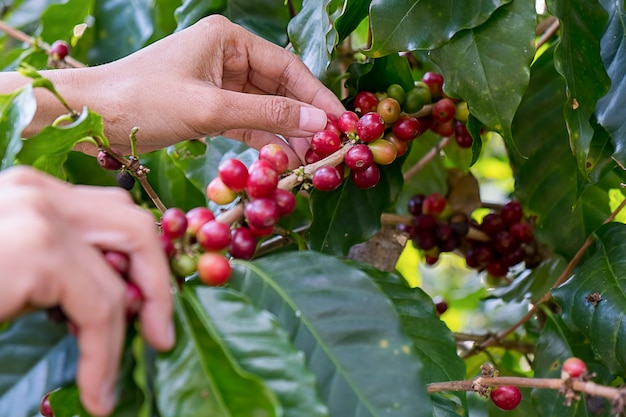 Hand of farmer pick fresh red ripen arabica coffee berries on branch in coffee farm and plantations in northern thailand.