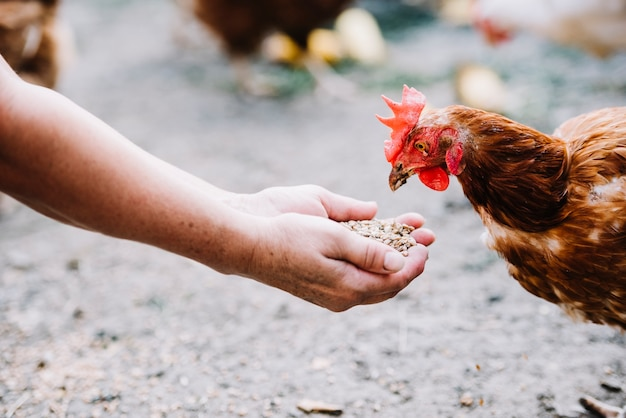 Hand feeding grains to chicken in the farm