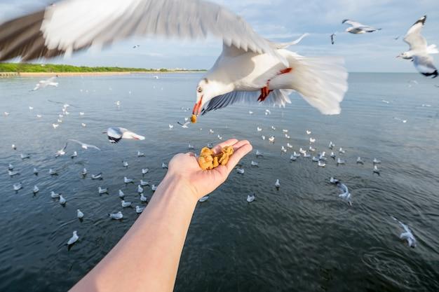 Hand feeding pork snack with seagulls