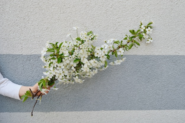 Hand girl with white flowers blooming cherry branch, gray wall background