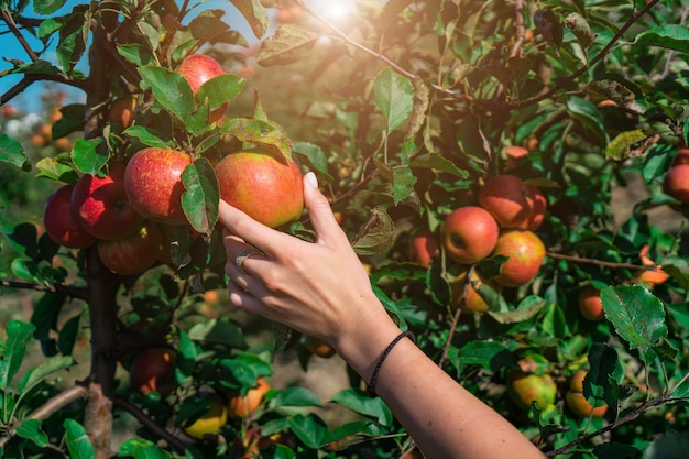 Hand grabbing an apple from a tree with sunlight
