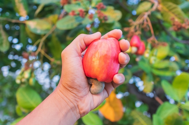 Hand harvesting cashew fruit (anacardium occidentale) on tree