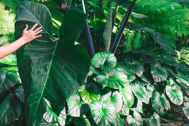 손을 잡고 코끼리 귀. 알로카시아 마크로리조스는 동남아시아 열대 우림에 있는 열대 식물의 잎사귀입니다. 녹색 열대 잎의 어두운 색조, 야자수, 양치류 및 관상용 식물 배경 배경