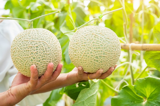 Hand hold fresh melon or cantaloup melon growing in greenhouse farm