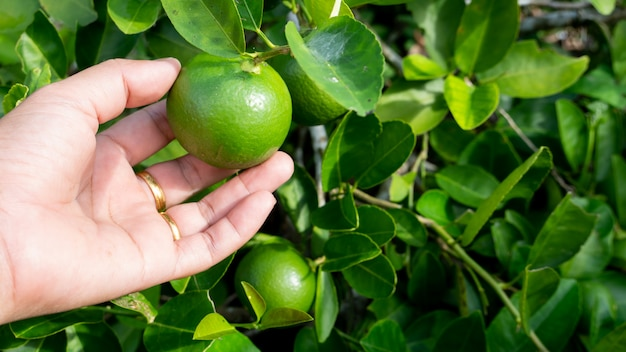 Hand hold green lemon