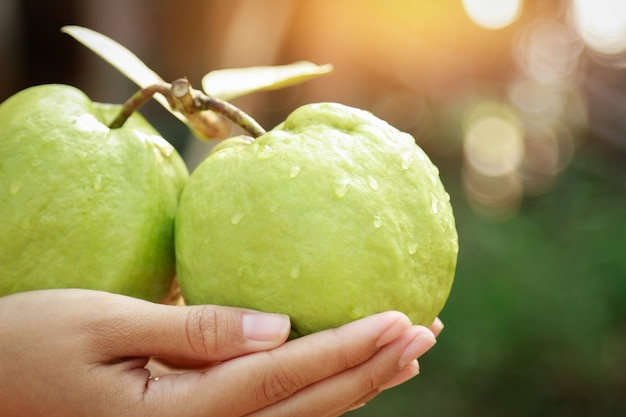 Hand hold guava fruit in farm for healthy eating