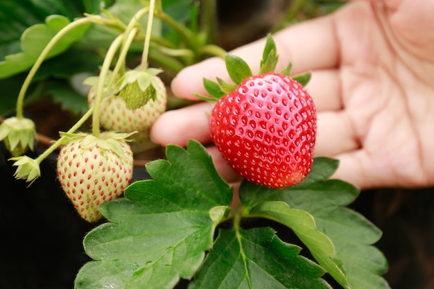 Hand hold juicy strawberry