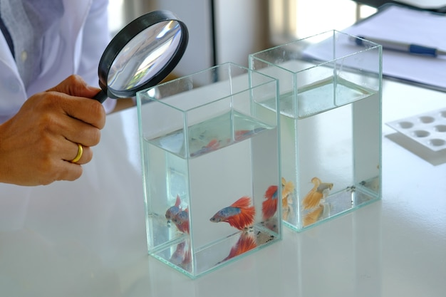 Hand hold magnifying glass analyzing beautiful red fighting fish testing table laboratory.