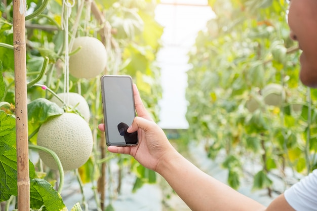 Hand hold mobile smartphone take photo to fresh melon or cantaloup melon growing