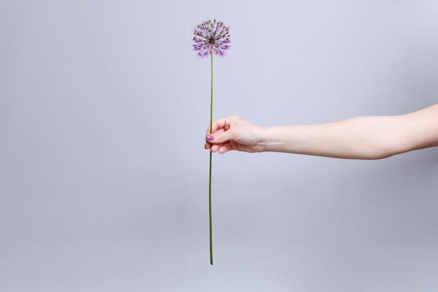 手は、テキストのコピースペースと灰色の背景で隔離の背の高い茎に1つのピンクの花を保持