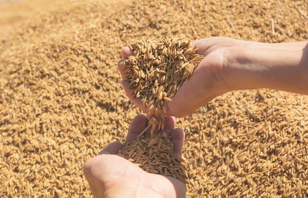 손을 잡고 갈색 생 쌀된 쌀, 태국 쌀 배경.