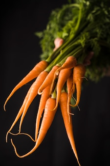 Hand holding of bunch of carrots