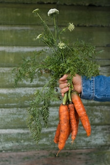 Hand holding a bunch of organic carrots