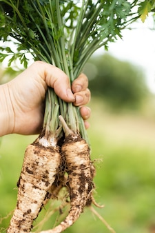 Hand holding a bunch of tasty parsnip