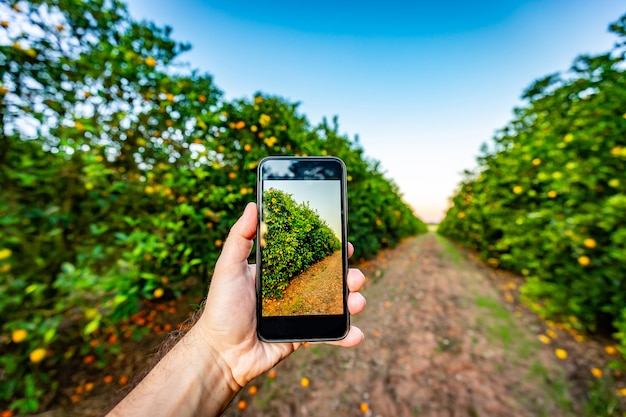 Hand holding a cel phone in fron of an orange tree. agricultural design mockup.