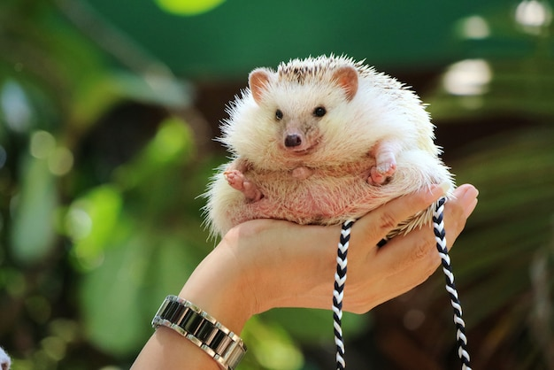 Hand holding cute young hedgehog with green leaves in summer