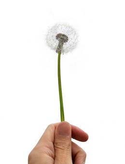 Hand holding a dandelion