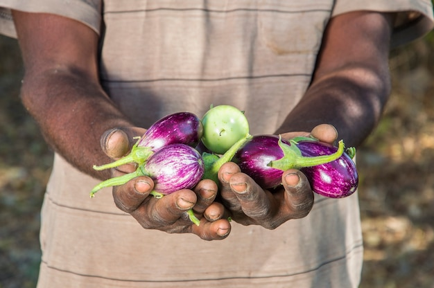 Hand holding eggplant at organic eggplants or brinjal farm