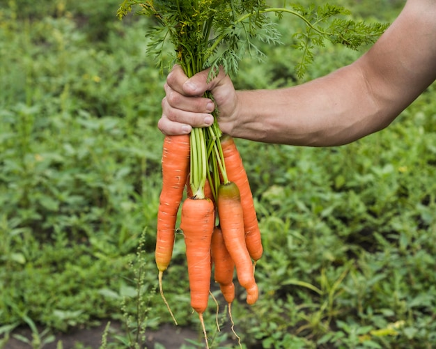 Hand holding fresh carrots from the garden
