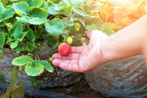 Hand holding fresh strawberries.