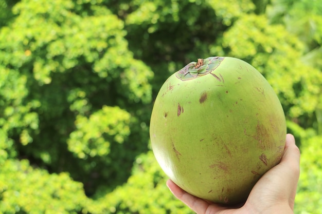 Hand holding a fresh young coconut with blurry green foliage in background