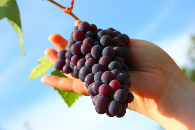 Hand holding grape clusters against blue sky
