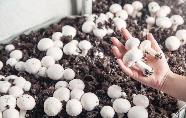 손을 잡고 농장에서 버섯 champignons입니다.