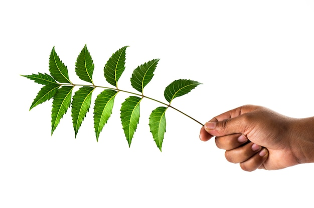 Hand holding neem leaves