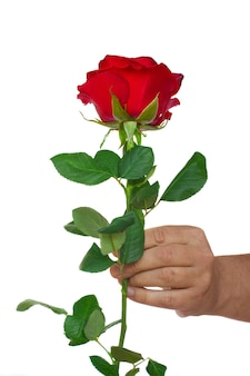 Hand holding one red rose isolated