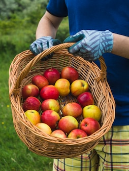 Hand holding organic red ripe apple in the basket