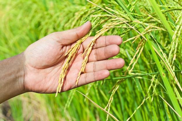 Hand, holding paddy rice in field